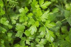 Fresh green parsley growing in the vegetable garden Stock Photos