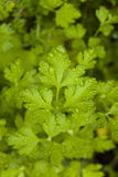 Fresh Green Parsley Herbs Stock Images