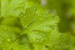 Fresh Green Parsley Herbs. In the Garden Stock Photos