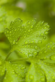 Fresh Green Parsley Herbs. In the Garden Royalty Free Stock Image
