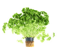 Fresh green parsley isolated Stock Photo