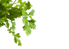 Fresh green parsley. Isolated. Food ingredients. Healthy food Stock Photos