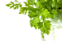 Fresh green parsley. Isolated. Food ingredients. Healthy food Royalty Free Stock Image