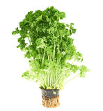 Fresh green parsley isolated Royalty Free Stock Photos