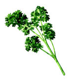 Fresh green parsley isolated, watercolor illustration on white. Background stock illustration
