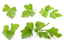 Fresh Green Parsley Isolated on White Background Royalty Free Stock Images