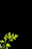 Fresh green parsley leaf. Isolated on black background Stock Images