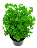 Fresh green parsley in a pot Royalty Free Stock Images