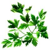 Fresh green parsley , watercolor illustration on white. Background vector illustration