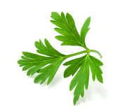 Fresh green parsley. On a white background Royalty Free Stock Photo
