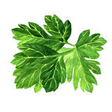 Fresh green parsley on white background. Royalty Free Stock Images