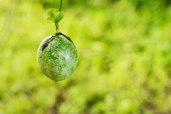 Fresh green passion fruit on vine from frame Stock Images