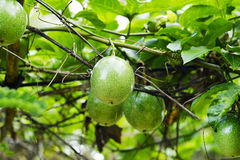 Fresh green passion fruit on vine from frame Royalty Free Stock Photo