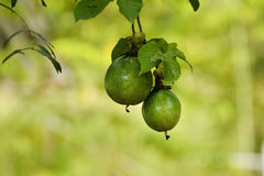 Fresh green passion fruit on vine from frame Stock Photography