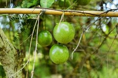 Fresh green passion fruit on vine from frame Royalty Free Stock Photos
