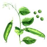 Fresh green pea pod, peas plant, isolated, watercolor illustration stock image