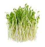 Fresh green pea sprouts Royalty Free Stock Photography