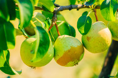 Fresh Green Pears On Pear Tree Branch, Bunch Stock Photo