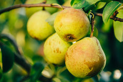 Fresh Green Pears On Pear Tree Branch, Bunch Stock Images