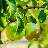 Fresh Green Pears On Pear Tree Branch, Bunch Royalty Free Stock Photo