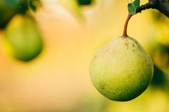 Fresh Green Pears On Pear Tree Branch, Bunch. Ready To Be Harvested. Late Summer Or Early Autumn Harvest Royalty Free Stock Photography
