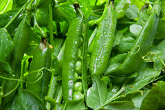 Fresh green peas. Fresh juicy green peas in the pod Royalty Free Stock Images