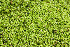 Fresh green peas background texture. Top view Royalty Free Stock Image