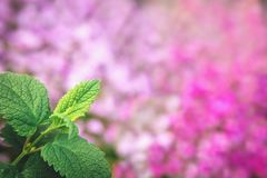 Mint leaves on pink background. stock photography