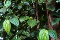 Fresh green pepper or Piper nigrum. Plant of black pepper or Piper nigrum Royalty Free Stock Photography