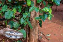 Fresh green pepper or Piper nigrum Stock Photography