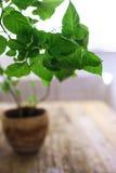 Fresh green pepper plant Stock Image