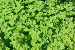 Fresh green peppermint leaves. Background. Peppermint plant Royalty Free Stock Images