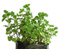 Fresh green peppermint plant Stock Image
