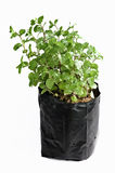 Fresh green peppermint plant Royalty Free Stock Images