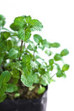 Fresh green peppermint plant Royalty Free Stock Photos