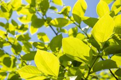 Fresh green persimmon leaves. Fresh green persimmon tree leaves under blue sky Stock Photography