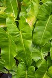 Fresh green Philodendron leaves Royalty Free Stock Photography