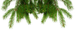Fresh green pine branches. Isolated on white background Stock Image