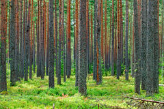 Fresh Green Pine Forest Backdrop Stock Images