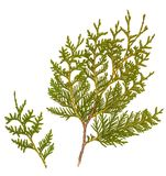 Fresh green pine leaves isolated, Shoots are Cossack Juniper. Fresh green pine leaves isolated on white background, Shoots are Cossack Juniper Royalty Free Stock Photo