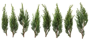 Fresh green pine leaves isolated on white background royalty free stock images