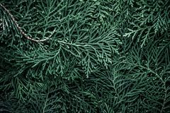 The fresh green pine leaves , Oriental Arborvitae, Thuja orienta. Fresh green pine leaves , Oriental Arborvitae, Thuja orientalis also known as Platycladus Stock Image