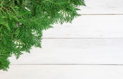 The fresh green pine leaves , Oriental Arborvitae, Thuja orienta Royalty Free Stock Images