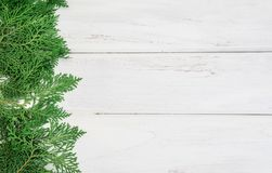 A fresh green pine leaves , Oriental Arborvitae, Thuja orientali Stock Images