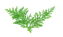 Fresh green pine leaves , Oriental Arborvitae, Thuja orientalis also known as Platycladus orientalis leaf texture on white back. Green pine leaves , Oriental Royalty Free Stock Image