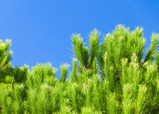 Fresh green pine tree branches above blue sky Royalty Free Stock Images