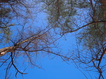 Fresh green pine tree and dry tree reaching towards blue sky. View from ground up. Royalty Free Stock Images