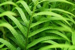 The Wart fern of Hawii commonly called monarch fern or musk fern royalty free stock photo