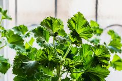 A fresh green plant geranium with beautiful leaves is on the windowsill. On a light background stock photography