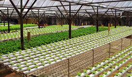 Fresh green plant growing in greenhouse. Rows of fresh green plant growing in greenhouse Stock Image